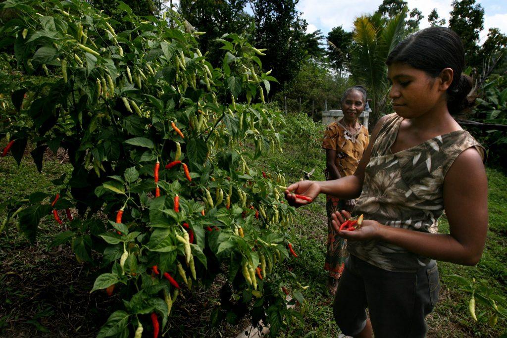 Woman Picking Chillies Ardea International - Modern Slavery | Human Rights | Sustainability