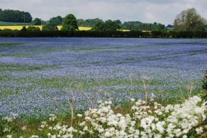 Linseed field 2
