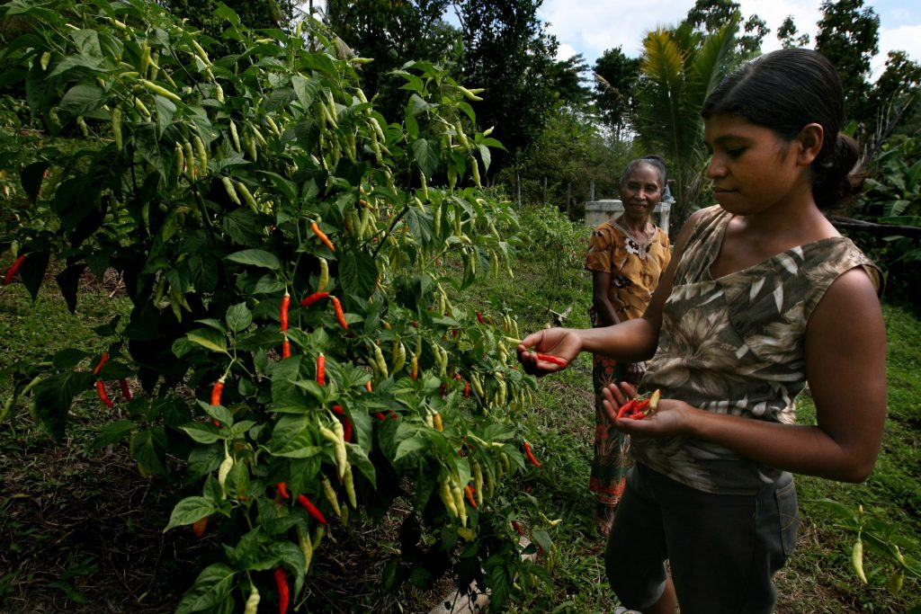 Woman Picking Chillies Ardea International - Modern Slavery | Human Rights | Sustainability